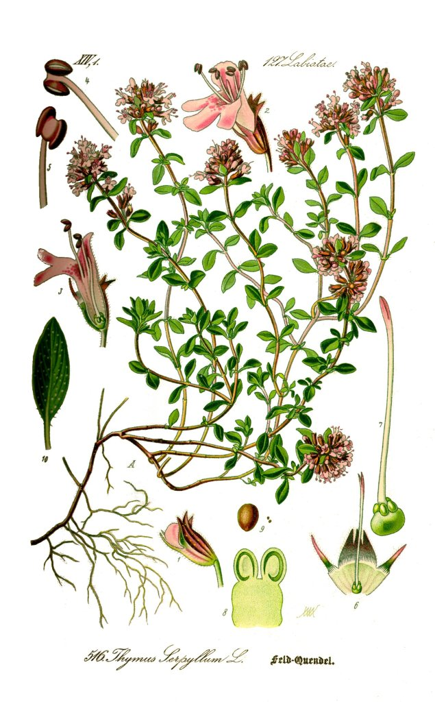 Illustration_Thymus_serpyllum0_clean