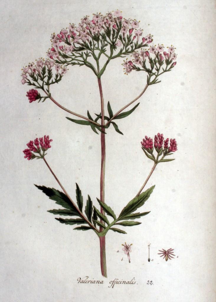 Valeriana_officinalis_—_Flora_Batava_—_Volume_v1